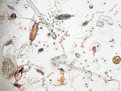 планктон фото организмы