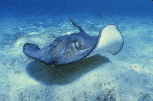 Морской скат стелящийся по дну